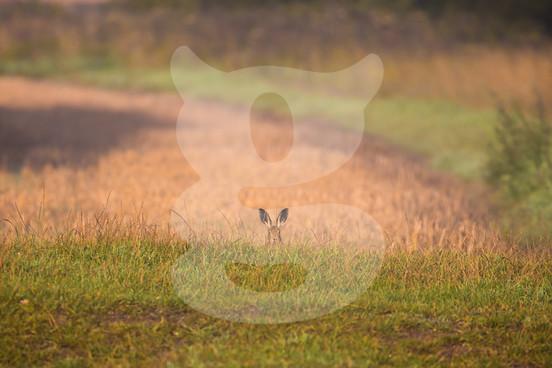 Hiding hare