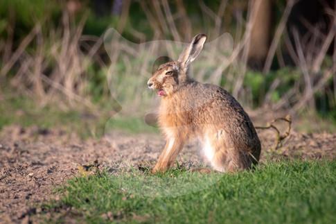 Yawning hare