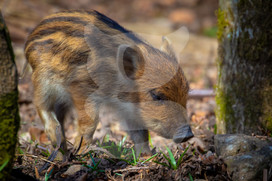 Wild boar humbug, Forest of Dean