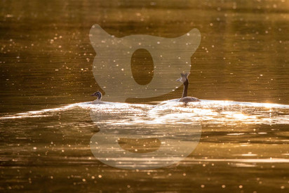 Great Crested Grebe pair sunset
