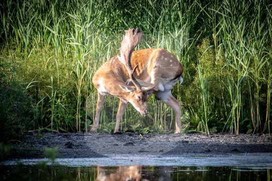 Large fallow buck scratching head