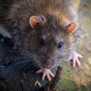 Brown Rat >>