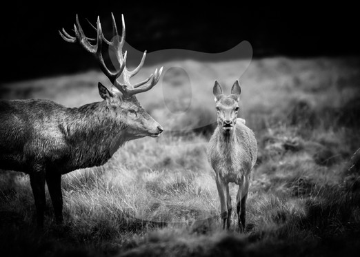 Red deer stag looks at a hind romantically