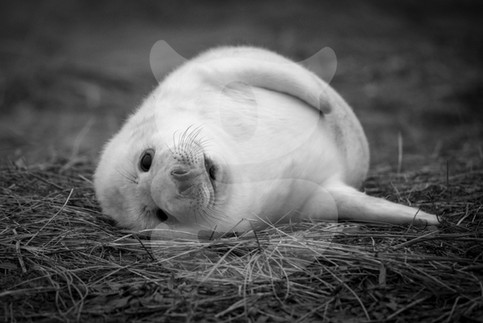 Grey seal pup black and white