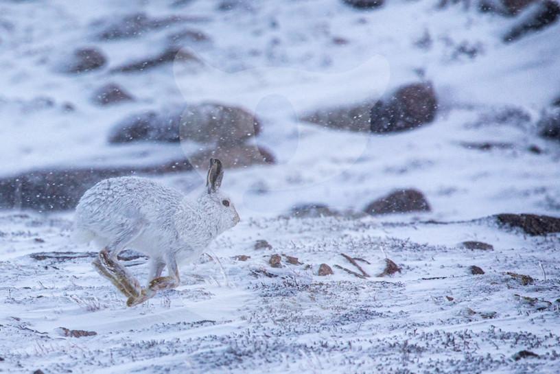 Running mountain hare, Cairngorms
