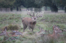 Bellowing red deer stag with females during the rut