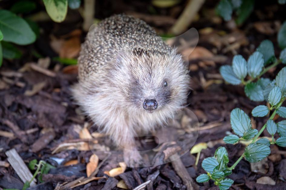 One eyed hedgehog