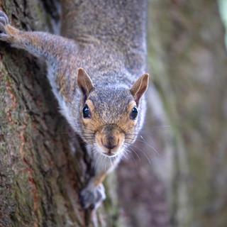 SQUIRREL - Grey Squirrel >>