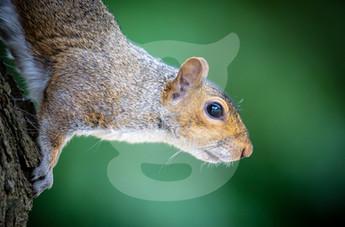 Grey squirrel green background