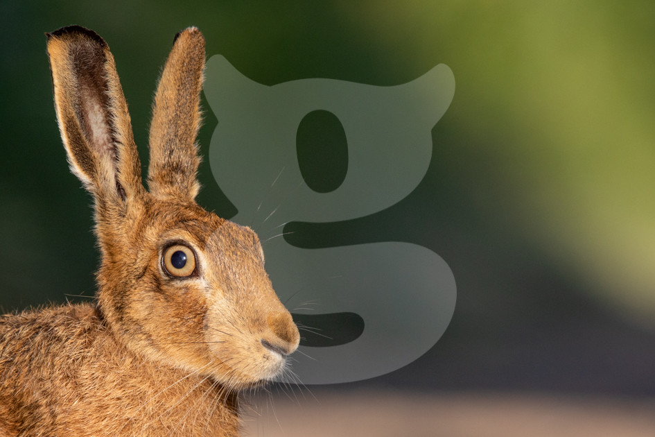 Brown hare close up