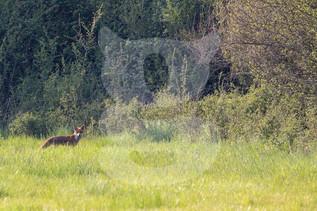 Fox in British countryside
