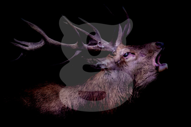Bellowing red deer stag out of black