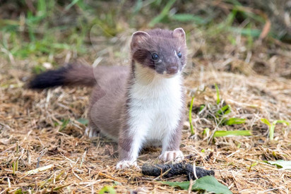 Stoat standing to attention