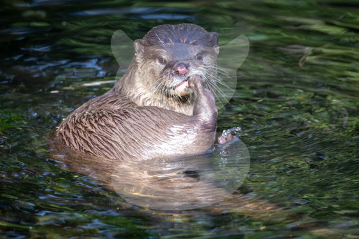 Otter scratching in the water