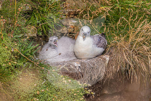 Fulmar parent and young
