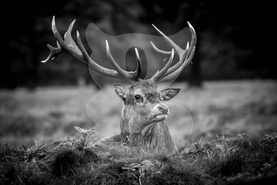 Relaxing red deer stag black and white