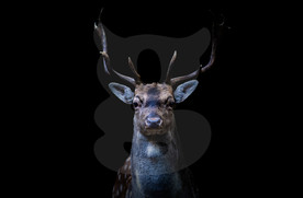 A moody Fallow buck coming out of the shadows