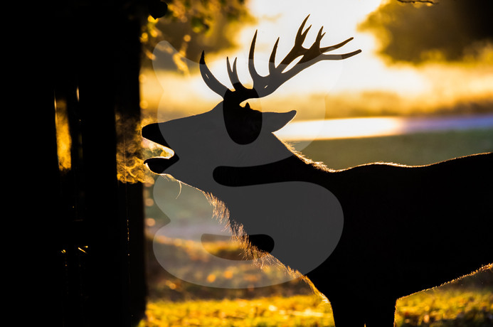 Sunrise red deer stag, Bushy Park