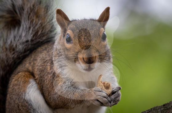 Grey squirrel eating close up