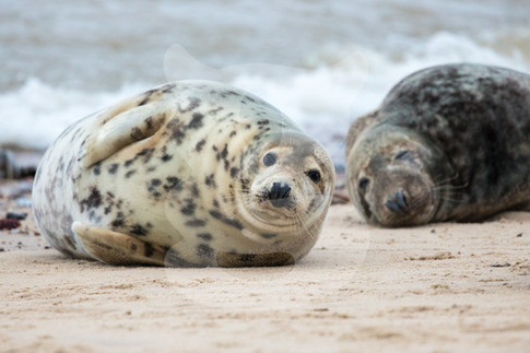 Two large grey seals