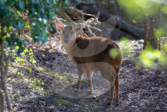 Muntjac in the afternoon