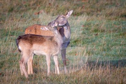A mother fallow deer preening her fawn