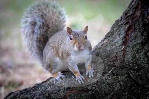 Grey squirrel on tree