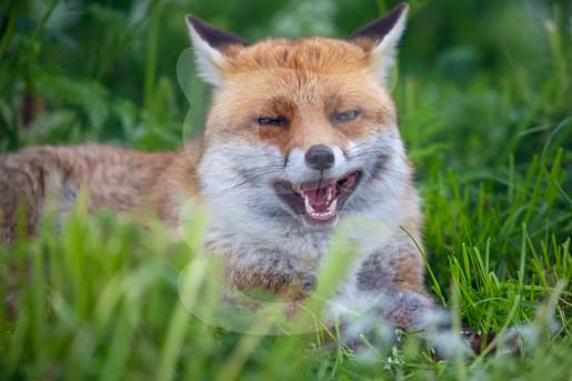 Yawning fox