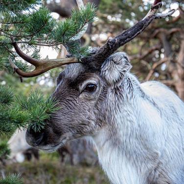 DEER - Reindeer >>