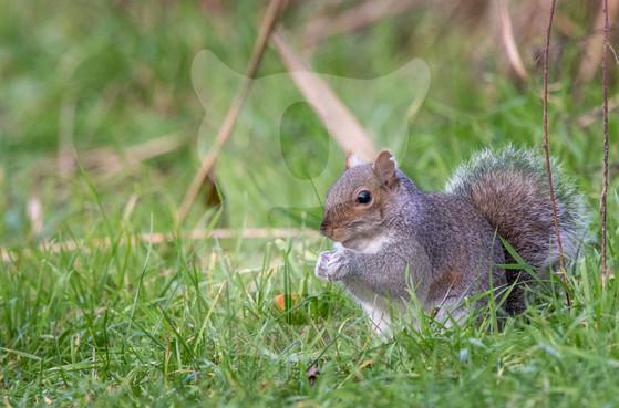 Grey squirrel in grass