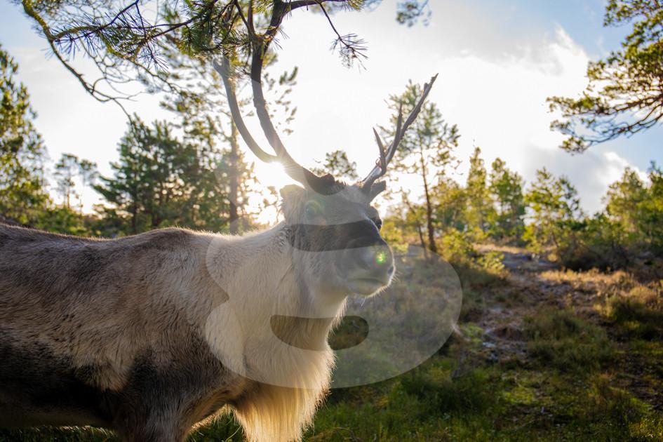 Backlit reindeer