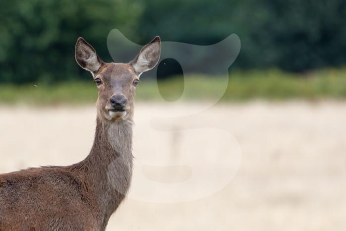 Alert red deer hind