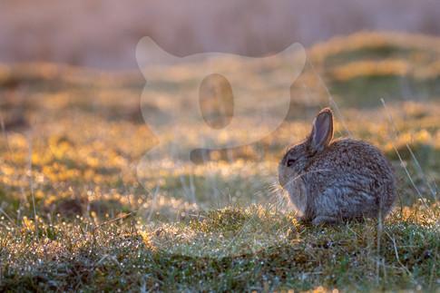 Baby rabbit, Northern Pennines