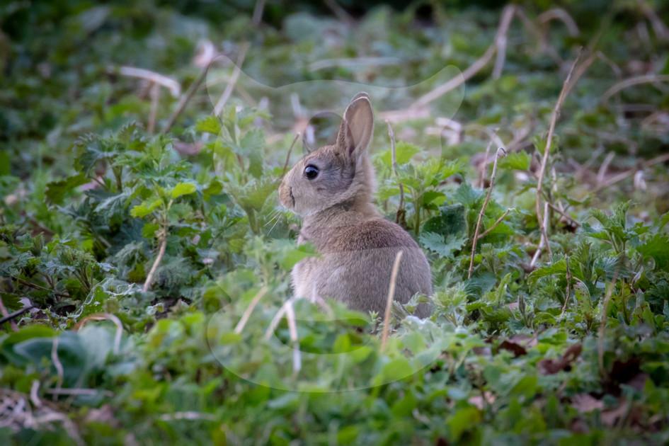 Young rabbit kit amongst foliage