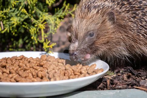 Feeding hedgehog