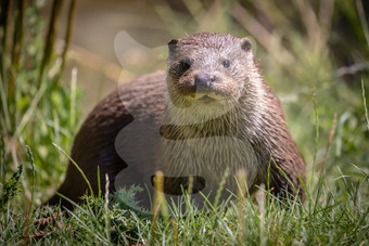 Otter on the bank