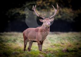 Proud red deer stag