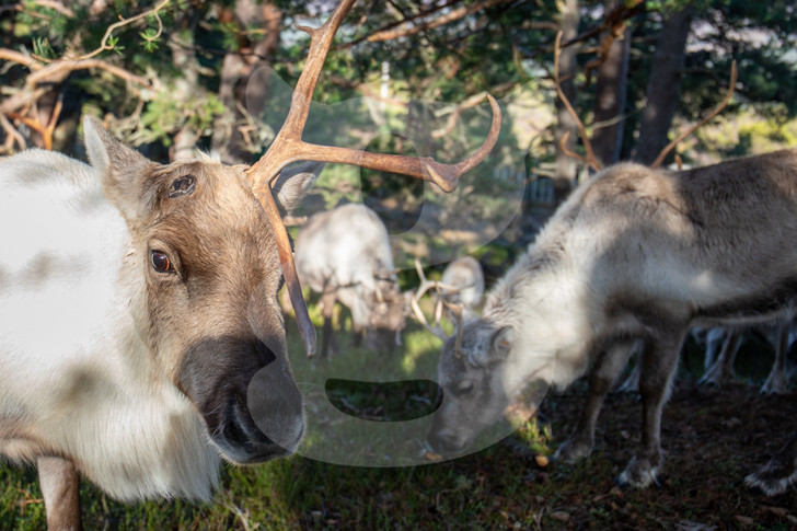 Reindeer with one antler