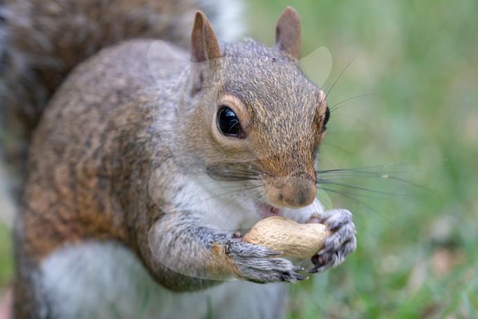 Grey squirrel with monkey nut