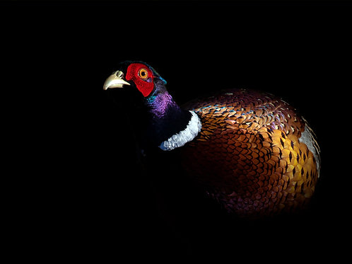 Striking Pheasant