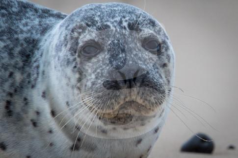 Grey seal close up