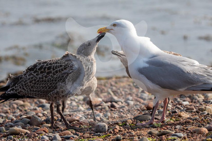Herring Gull with Juvenile