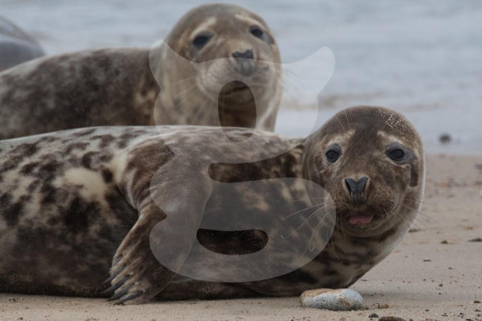 Pair of grey seals, Norfolk