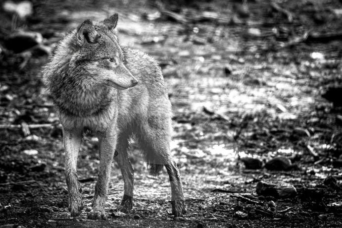 Grey wolf black and white, Highland Wildlife Park, Scotland