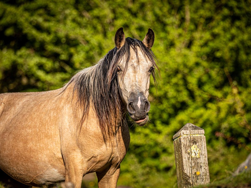Welsh Mountain Pony face on