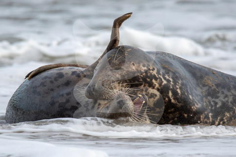 Two grey seals fighting