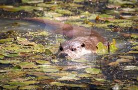 Otter amongst lilly pads