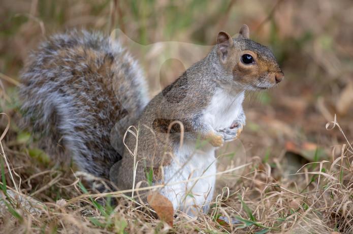 Standing grey squirrel