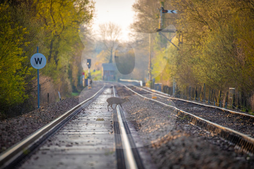 Muntjac crossing a train track