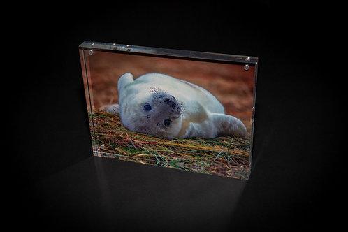 Rolling Baby Seal Acrylic Block
